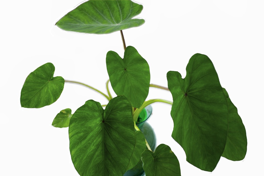 elephant ear philodendron natural living indoor plants