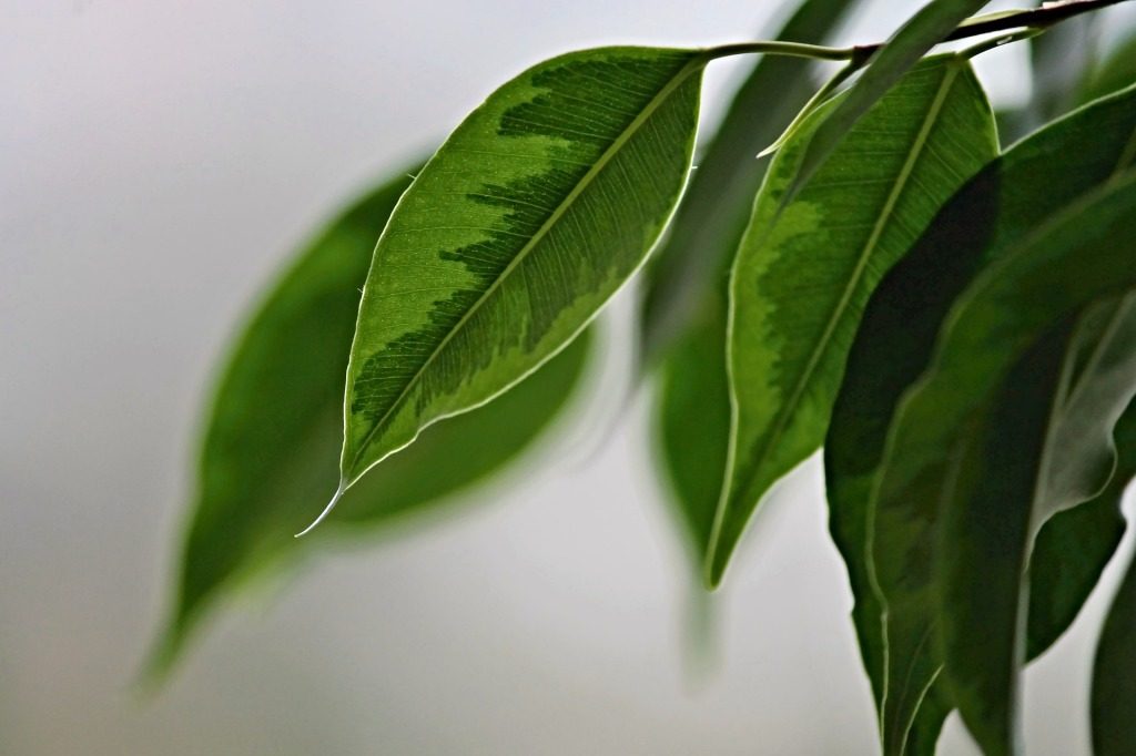 indoor plants that clean the air ficus plant
