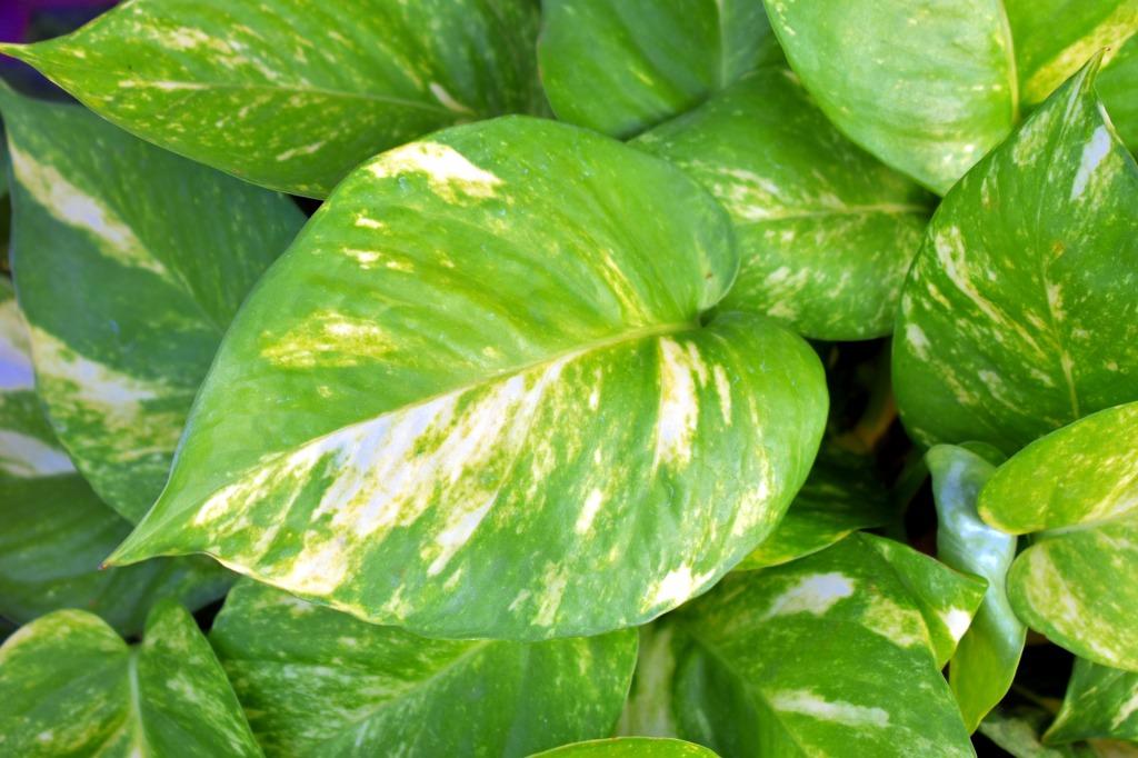 golden pothos indoor plants that clean the air