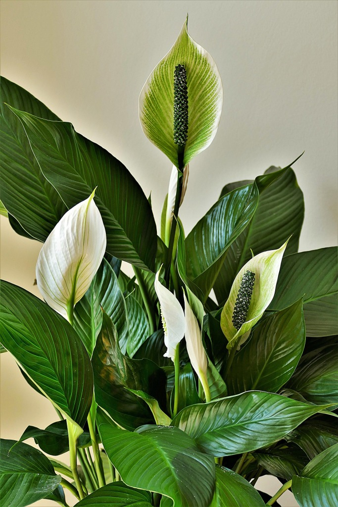simple natural living indoor plants that purify the air peace lily plant